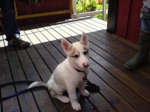 Loke Puppy on Porch