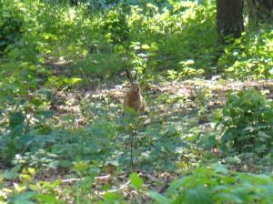 Swedish Hare