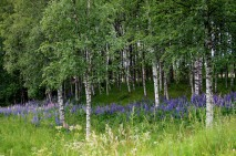 Yes. More Birches & Lupins