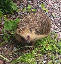 First LIVE Wild Hedgehog