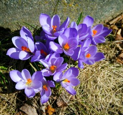 Can you tell I love crocus? Purple are my fav.