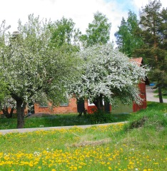 Blooming Apple Trees