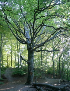 Huge Old Beech Tree