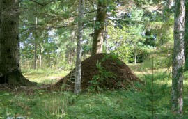 Biggest wood anthill I've ever seen.