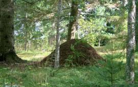 Biggest wood anthill I've ever seen.