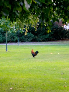 One of the roosters bullying the hen