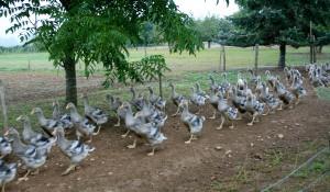 Waddling half-grown geese