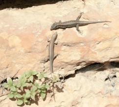 An example of both types of lizards running around la Madeleine