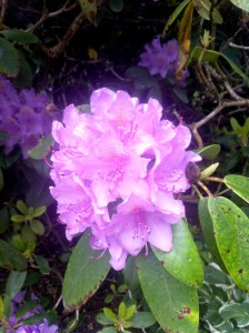 Azaleas, how I have missed thee