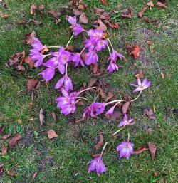 Saddest looking crocuses I've ever seen...