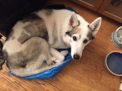 A husky in an Ikea bag.