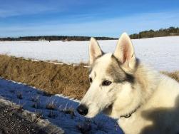 Pretty Husky on a Pretty Day