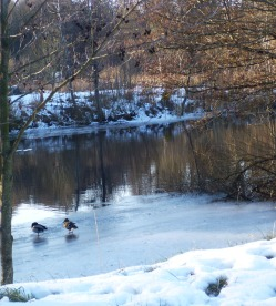 Ducks paring off. A hint of spring!