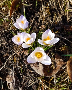 They're here! Yay for Crocus!