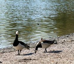 Barnacle geese!