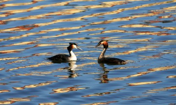 Great Crested Grebes courting.