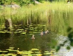 Looked like big ducks, but peeped like ducklings.