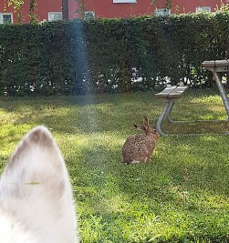 This hare don't care about a husky.