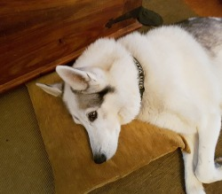 Throw pillow on floor to straight couch cover, and husky finds use for it.