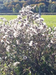 The dreaded 'fiberglass weed'