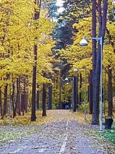 Golden birches along the path