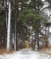 Snow plastered trees and snowy path.
