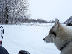 Husky in its natural environment.