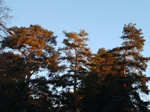 Sun-touched tree tops